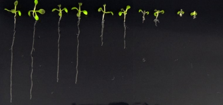 Lab-made-hormone-may-reveal-secret-lives-of-plants