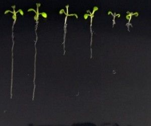Lab made hormone may reveal secret  lives of plants